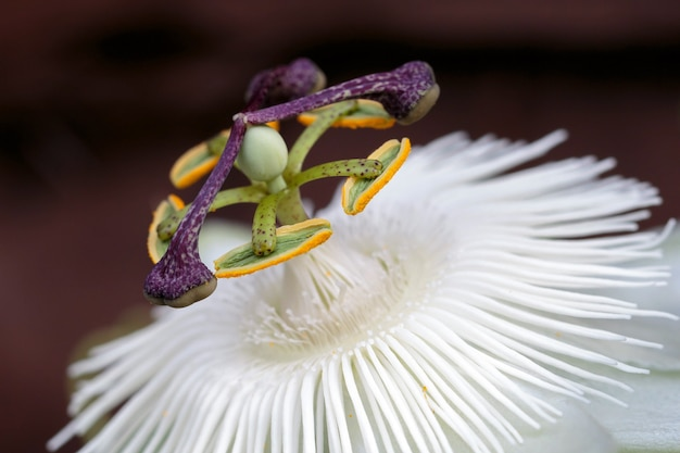 Flor da paixão (passifloraceae)