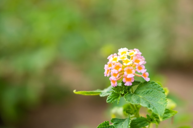 Flor da planta cor-de-rosa e amarelo