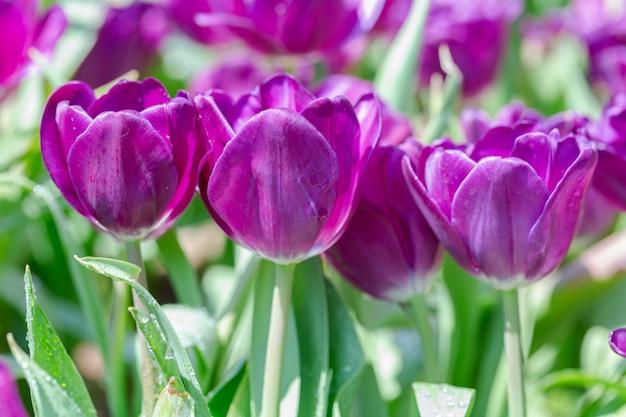 Flor da tulipa com fundo verde da folha no dia do inverno ou de mola.