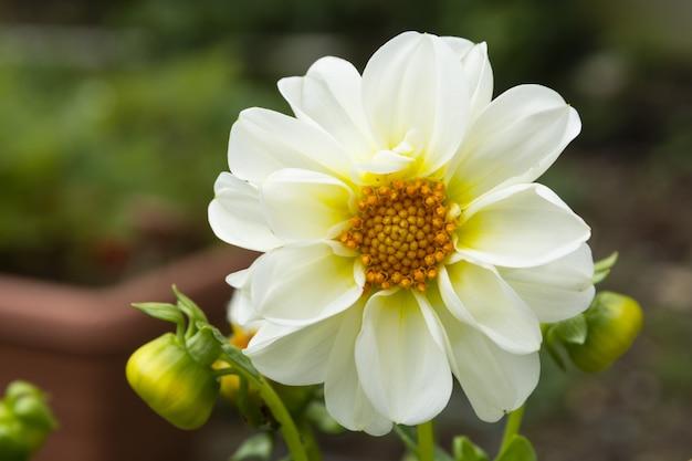 Flor dália branca no jardim