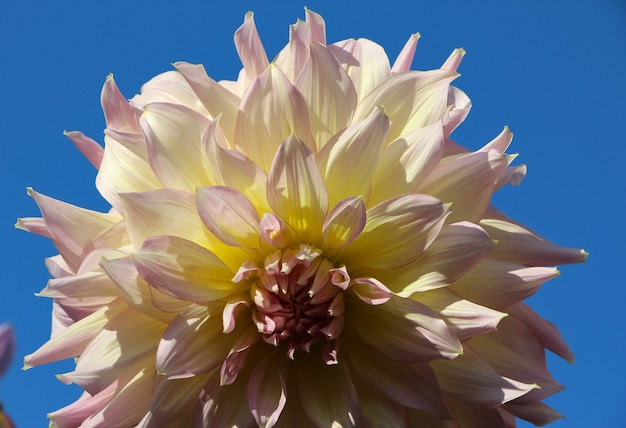 Flor dália fresca branca contra o céu