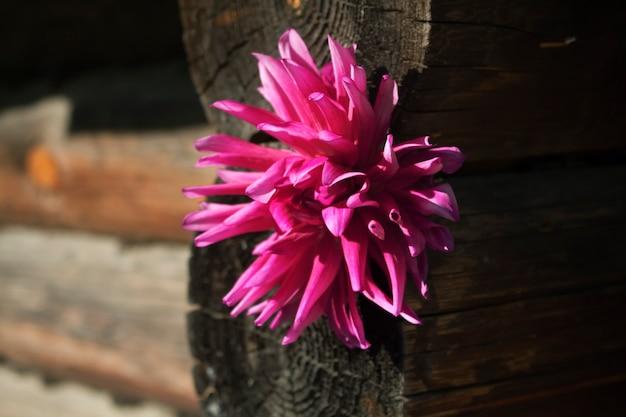 Flor dália no fundo de uma parede de madeira