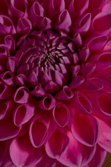 Flor dália rosa em fundo marrom bela planta ornamental florescendo jardim com traçado de recorte