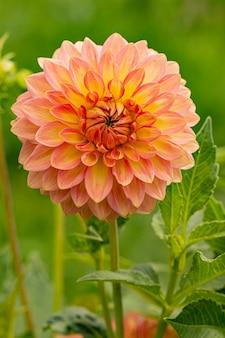Flor dália rosa fresca. macro.