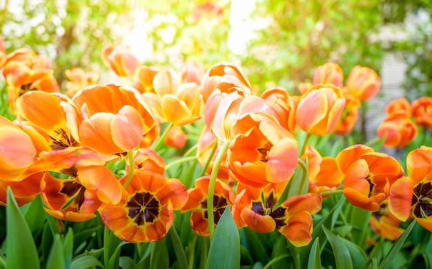 Flor das tulipas no jardim, fundo da natureza.