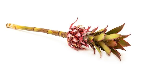 Flor de abacaxi rosa decorativa. exótico e incomum.