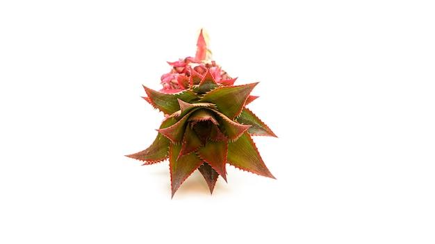 Flor de abacaxi rosa decorativa. exótico.