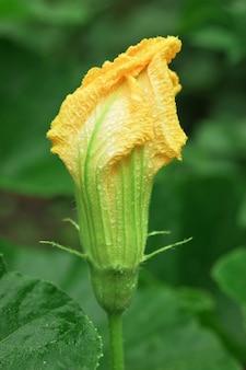 Flor de abóbora com as gotas de chuva
