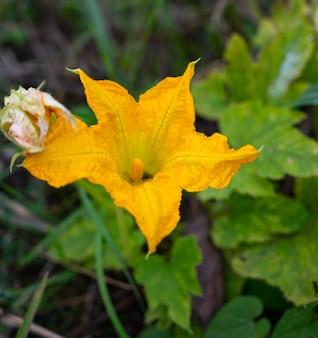 Flor de abobrinha florescendo no jardim