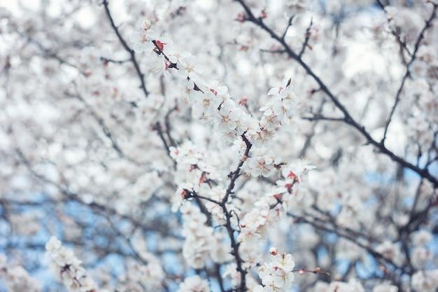 Flor de abricó close-up. flor de árvore de damasco, fundo de natureza floral sazonal