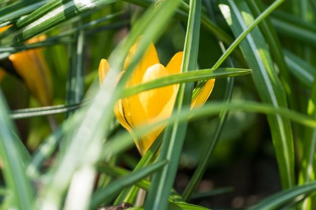 Flor de açafrão amarelo colorido que floresce em um dia ensolarado de primavera na grama verde