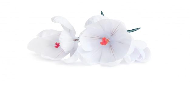 Flor de açafrão em fundo branco