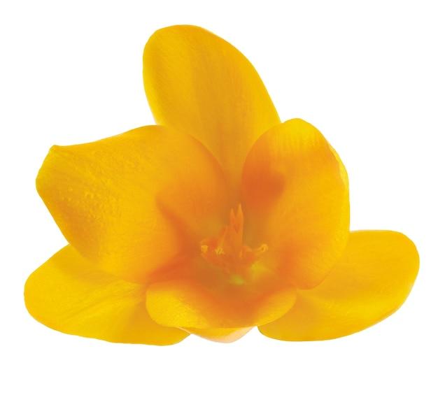 Flor de açafrão fotografada macro, isolada no fundo branco.