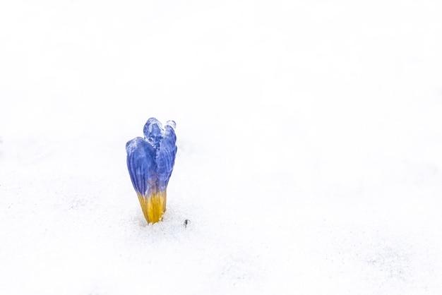 Flor de açafrão sobe na neve