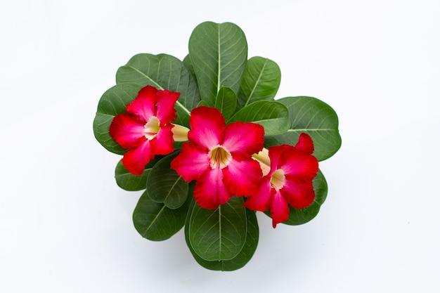 Flor de adênio vermelha com folhas verdes na superfície branca