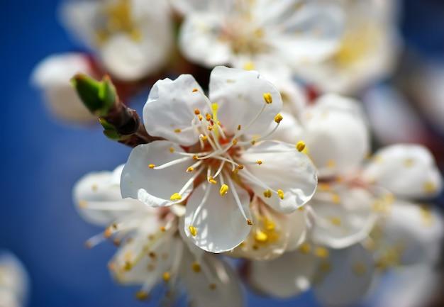 Flor de alperce na primavera em uma árvore