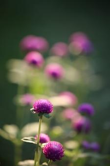 Flor de amaranto roxo em campo de flores