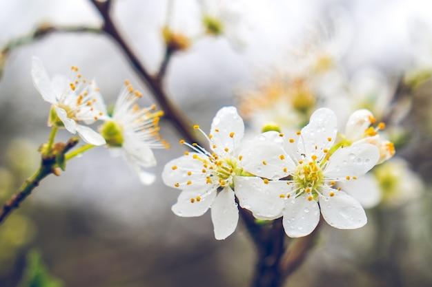 Flor de ameixa branca com gotas de orvalho pela manhã