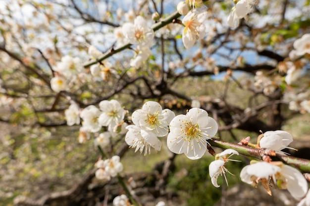 Flor de ameixa branca sob o céu azul durante o dia de inverno em nantou, taiwan