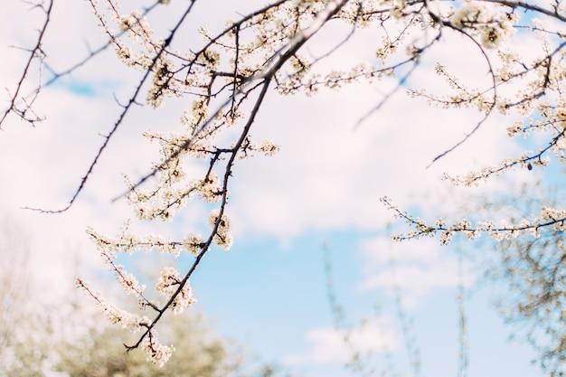 Flor de ameixa contra foco seletivo de céu azul
