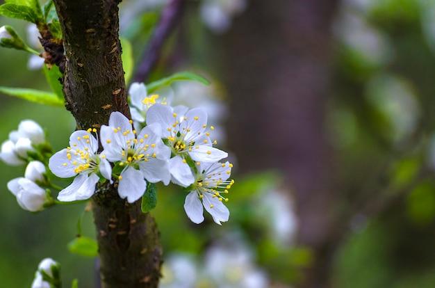 Flor de ameixa na primavera