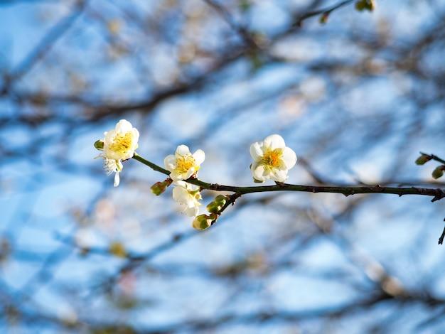 Flor de ameixa victoria branca contra um fundo escuro.