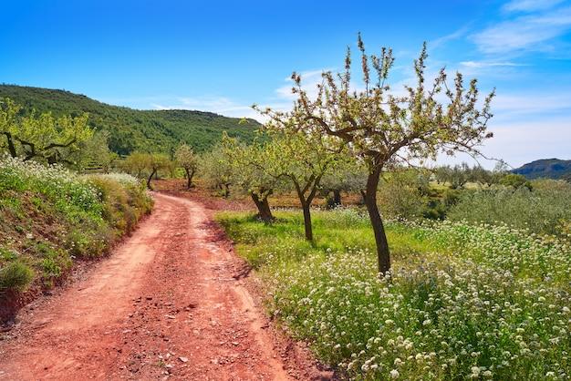 Flor de amendoeira primavera no mediterrâneo