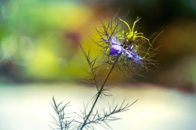 Flor de amor em uma névoa - igella damascena, planta de jardim de casa de campo azul sobre fundo desfocado suave.