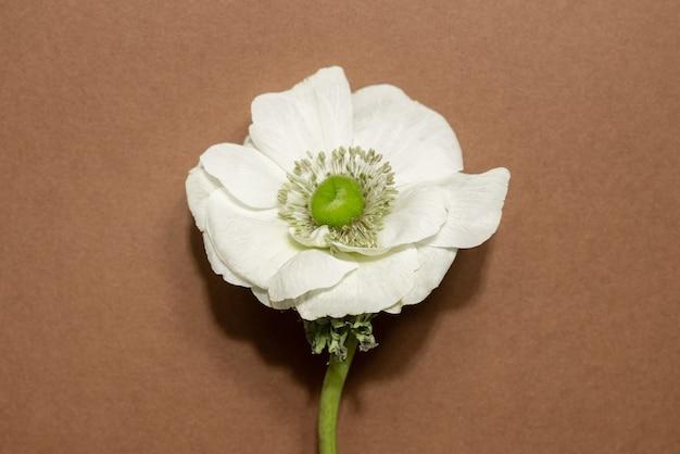 Flor de anêmona branca isolada em um fundo marrom