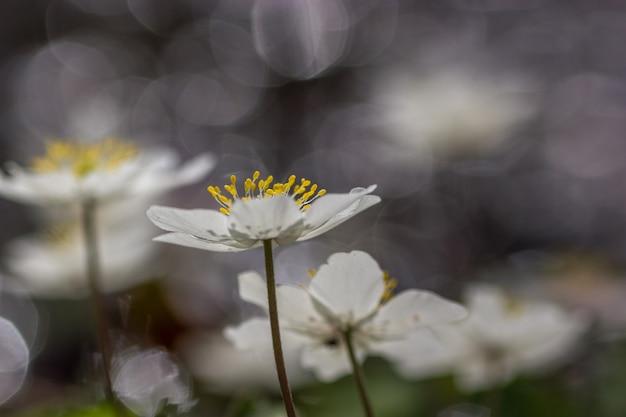 Flor de anêmona de madeira