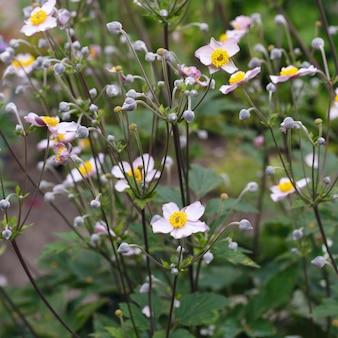 Flor de anêmona japonesa no jardim de verão.