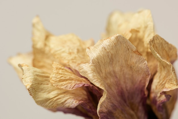 Flor de anêmona seca em um fundo cinza