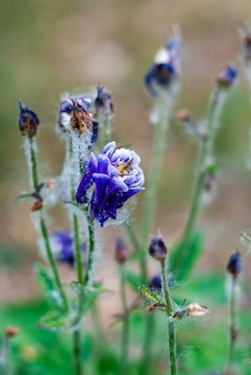 Flor de aquilégia azul florescendo em um jardim com penugem de choupo e gotas de baleia