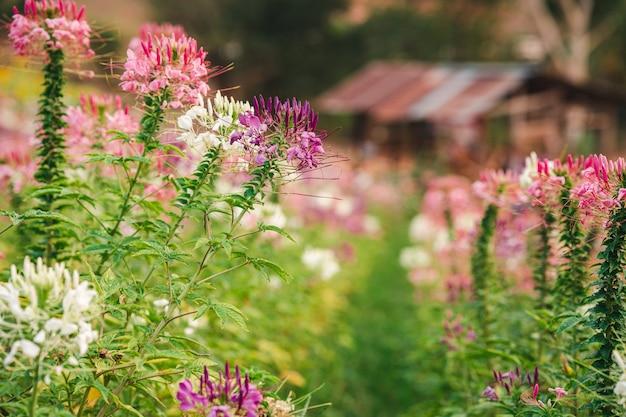 Flor de aranha arbustos de flores coloridas com fundo desfocado de uma velha cabana
