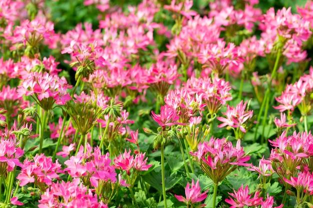 Flor de aranha ou fundo de flor cleome spinosa.
