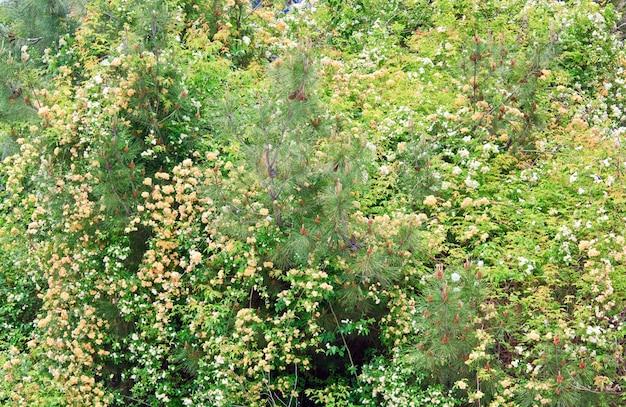 Flor de arbusto de primavera com flores brancas e bege (fundo natural)