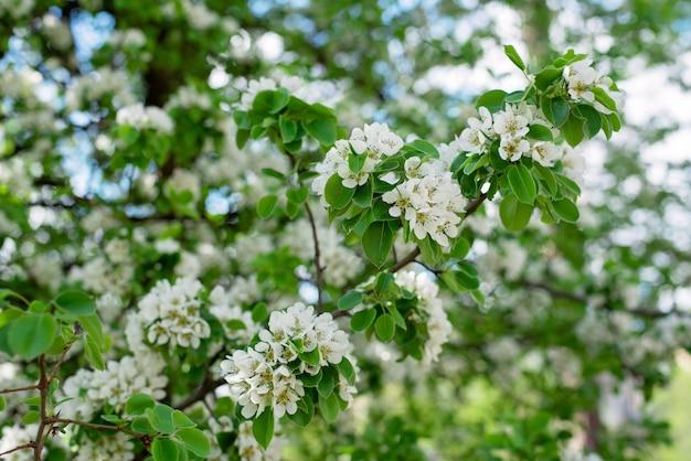 Flor de árvore de fruta pera na primavera. textura floral