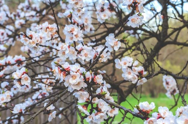 Flor de árvore frutífera de damasco na primavera