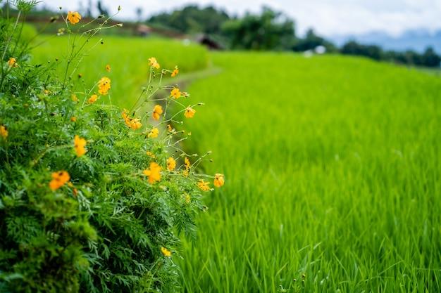 Flor de áster mexicana contra o fundo do campo de arroz.