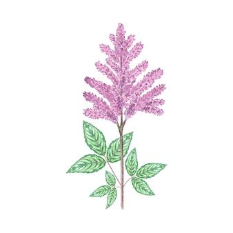 Flor de astilbe em aquarela