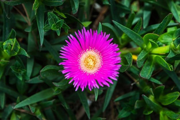 Flor de astra rosa fresca linda close-up em um fundo de grama verde cresce em um jardim doméstico, vista superior. flores no jardim florido