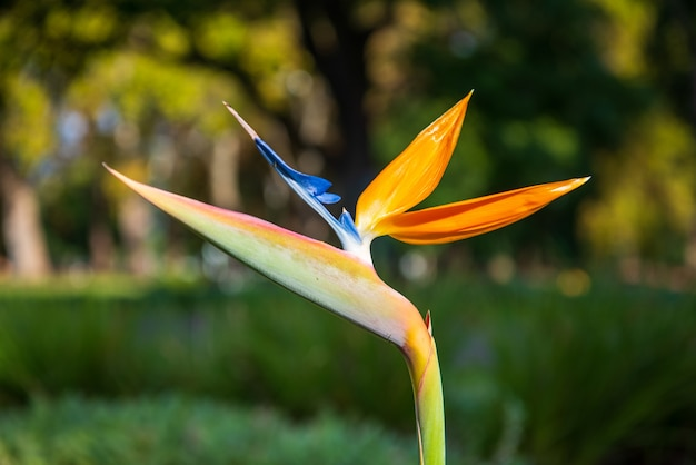 Flor de ave do paraíso no parque