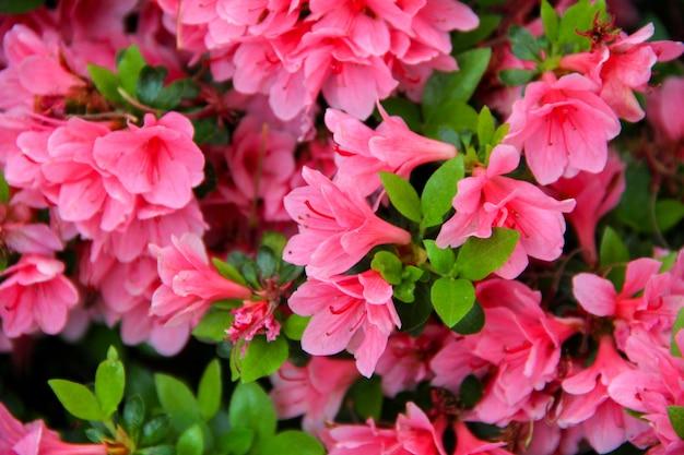 Flor de azaléia em um parque no japão