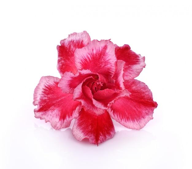Flor de azaléia isolado no fundo branco