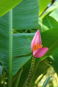 Flor de banana-de-rosa no jardim