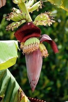 Flor de banana jovem com bananeiras em uma bananeira