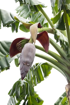 Flor de bananeira com frutas