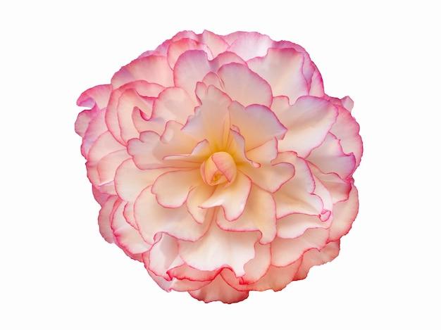 Flor de begônia rosa linda isolada em um fundo branco.