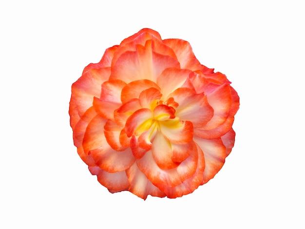 Flor de begônia vermelha linda isolada em um fundo branco.