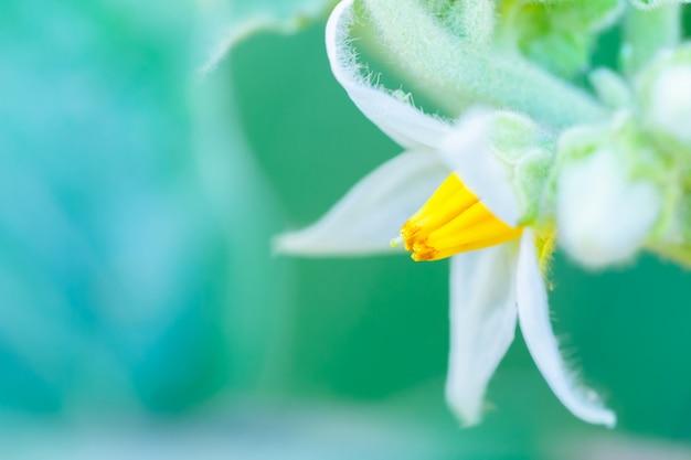 Flor de berinjela